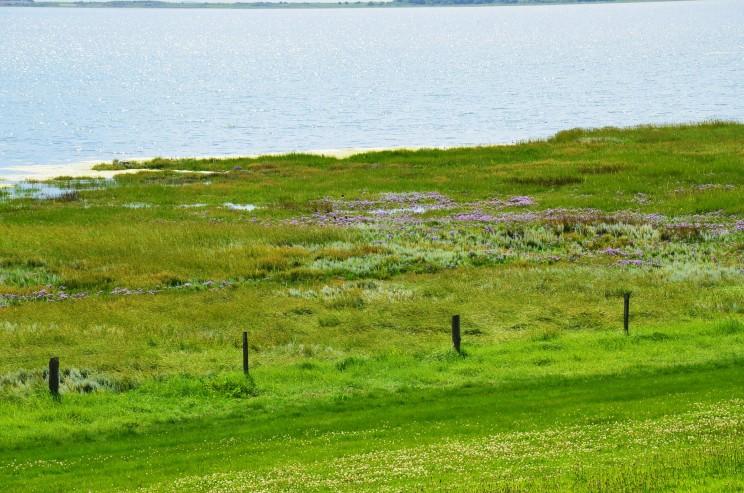 Die Uferregion an der Nordsee, Watt genannt, ist ein wertvoller Lebensraum für Fauna und Flora. Die blauen Blumen auf dem Bild wachsen in Salzwasser. Was für eine Anpassungsleistung.